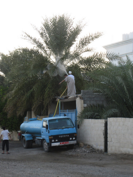 Watering the palm tree