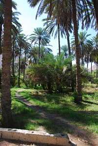 Date planation between Nakhal and Hasm, Oman.