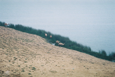 Camels at Khor Rori in Salalah.