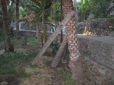 A novel way of keeping a date palm upright.