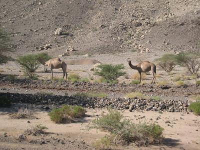 Camels at Bat