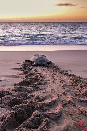 Photos Sultanat d'Oman - tortues sur sable