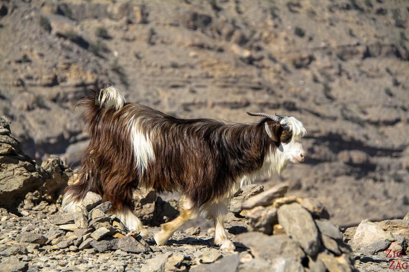 Goat Oman 3