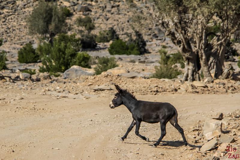 Donkey Oman 3