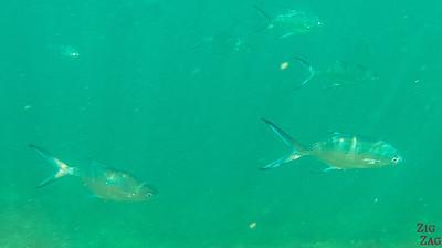 Fish Oman Snorkeling 2