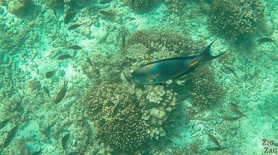 Fish Oman Snorkeling 5