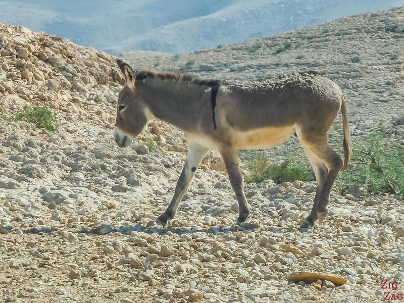 Donkey Oman 1