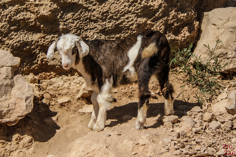 Goat Oman 1