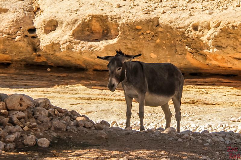Donkey Oman 2