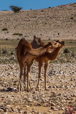 Camel Oman 3