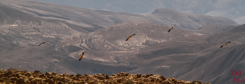Bird on Salmah Plateau - Oman 3