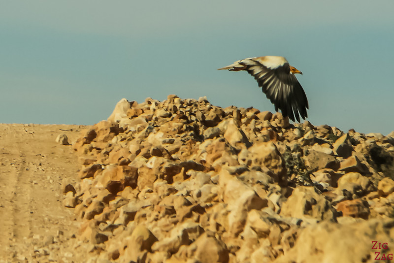 Bird on Salmah Plateau - Oman 1