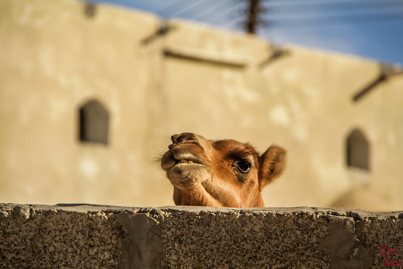 Camels on Salmah Plateau - Oman 6