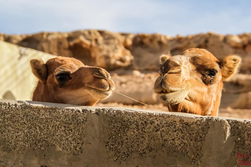 Camels on Salmah Plateau - Oman 8