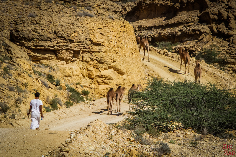 Crossing path with camels off road on the Salmah Plateau