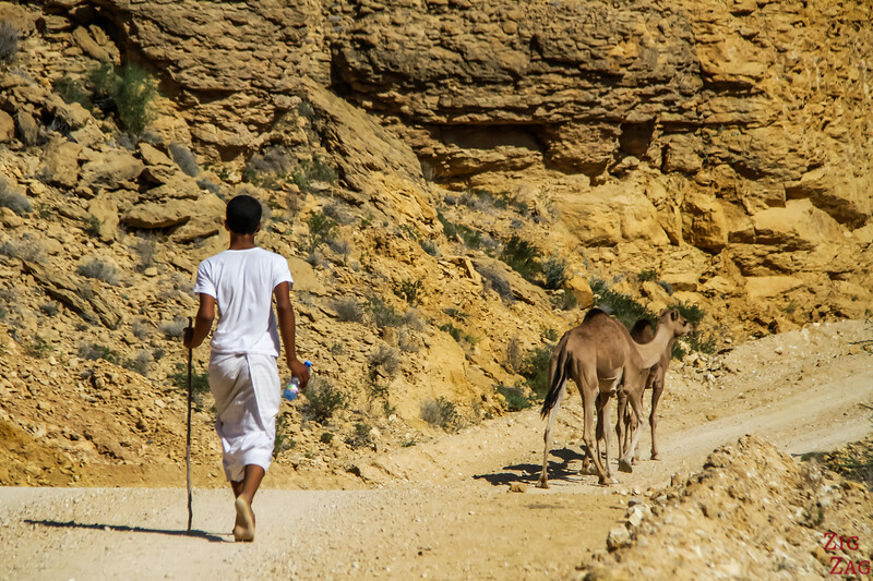Camels on Salmah Plateau - Oman 1
