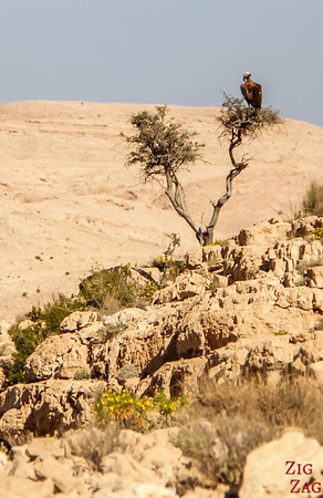 Bird on Salmah Plateau - Oman 2