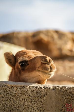 Camel Oman 2