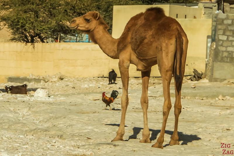 Camels on Salmah Plateau - Oman 5
