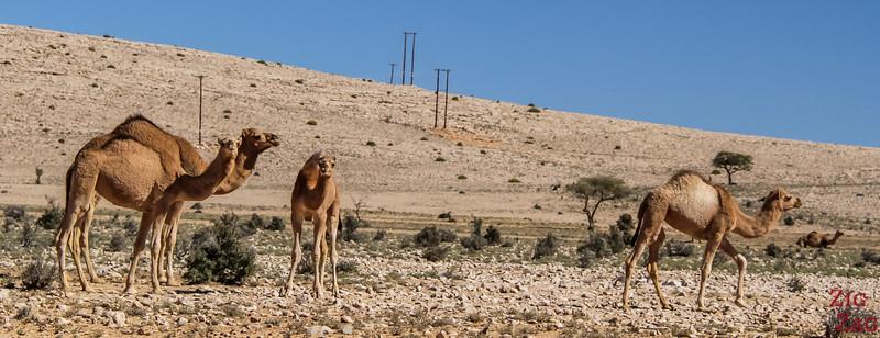 Camels on Salmah Plateau - Oman 3