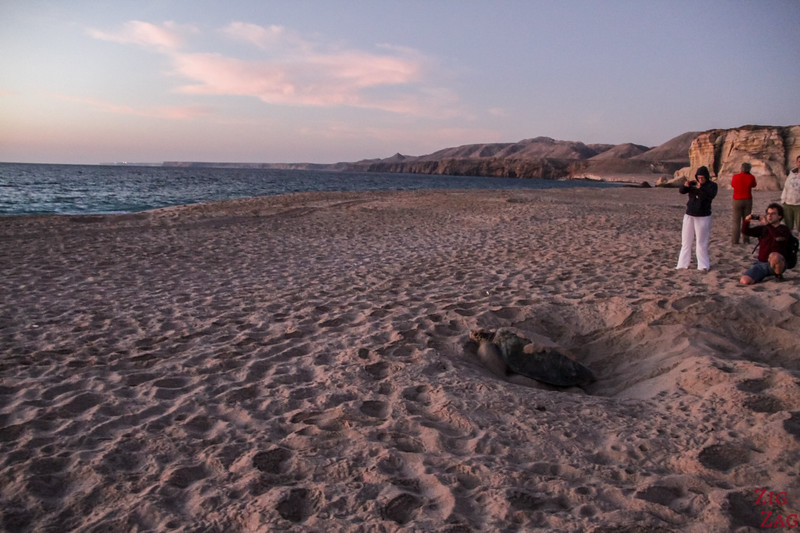 Staying behind the turtle at Ras Al Jinz Turtle Reserve - Oman