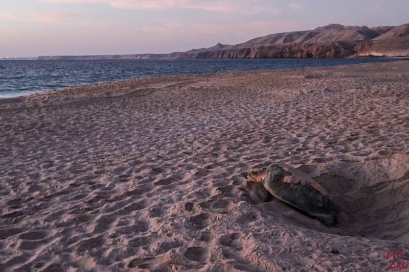 Turtle 7 at Ras Al Jinz - Oman