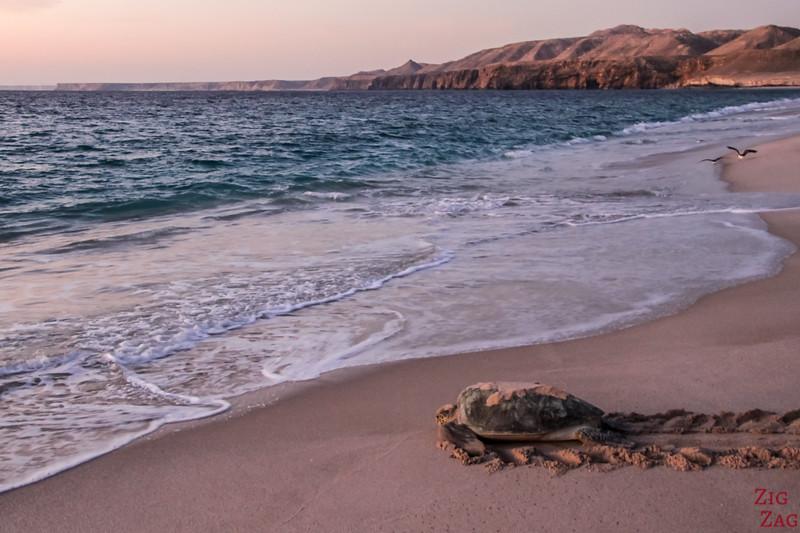 From Sur Oman - Ras Al Jinz Turtle Reserve
