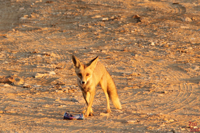 Fox at Ras Al Jinz Turtle Reserve - Oman