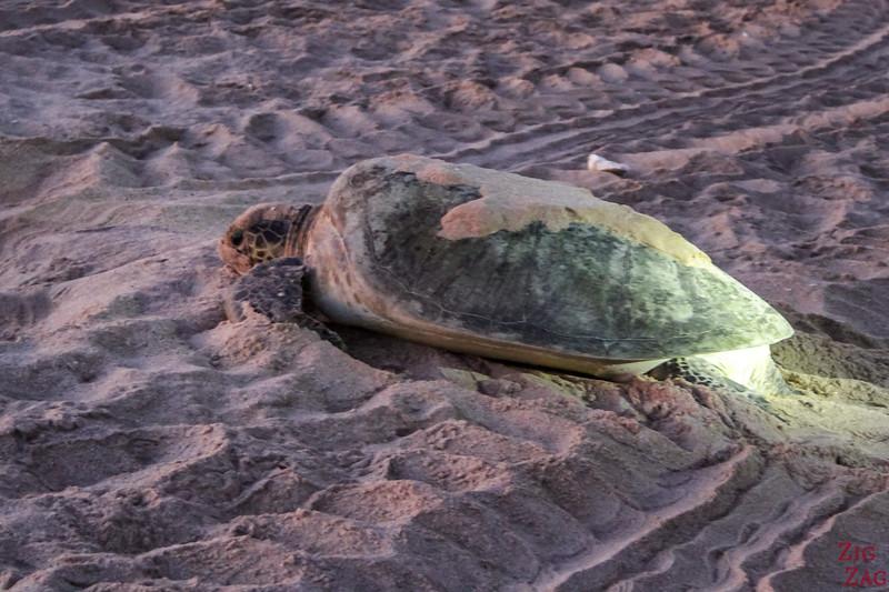 Turtle Oman 2