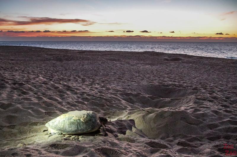 Turtle at sunrise 1