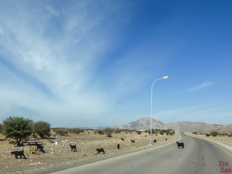 animals on road in Oman - goat
