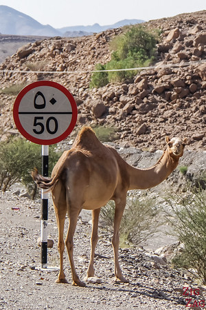 animals on road in Oman - camel
