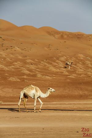Camel Oman 6