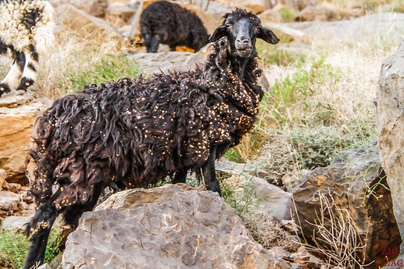 Goat Oman 2