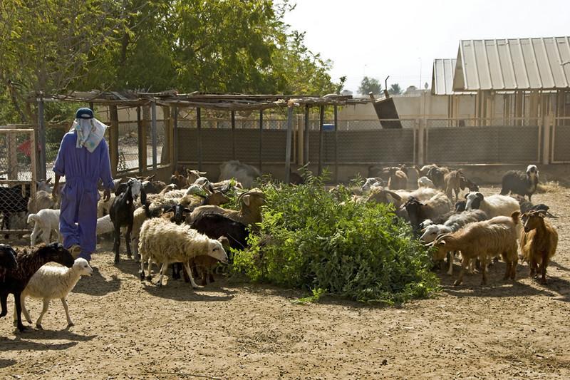 Feeding the goats on the farm.