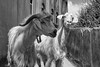 Goats, Green Mountain, Oman