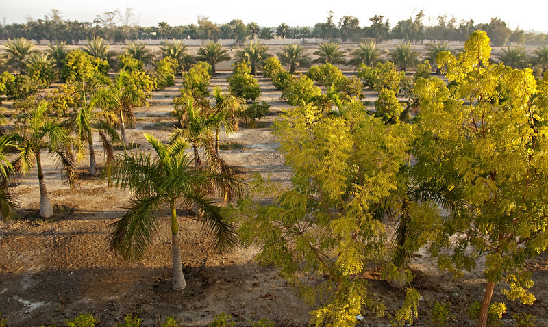 Date palms, the farm.