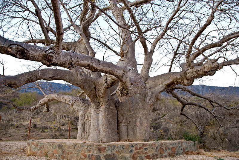 The oldest baobab tree in Oman, in Dalkut, a village near the Yemen border south of Salalah.