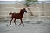 Filly running in her enclosure on the farm 1.