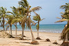 Palm trees, with exposed roots, the after affect of Hurricane Gonu, in Muscat, Oman.