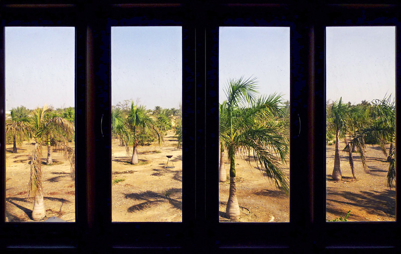 View of date palms from the kitchen window at the farm.