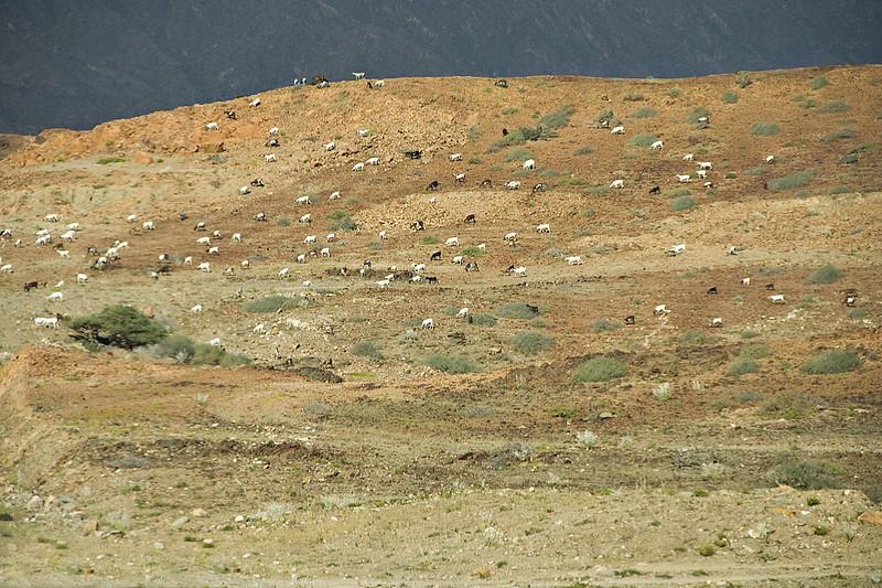 Goats across a hillside, near Salalah