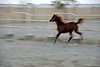 Filly running in her enclosure on the farm 6.