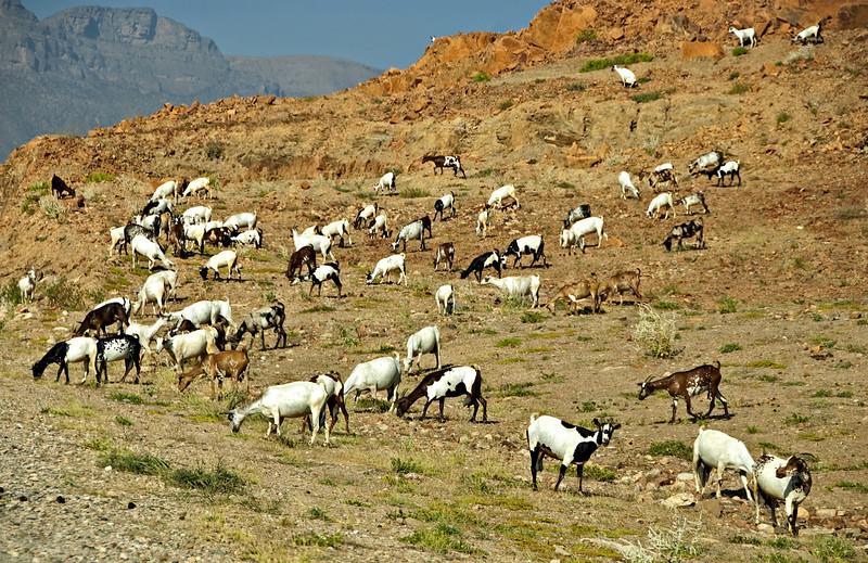 Goats grazing on a hillside near Salalah.