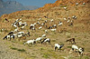 Goats grazing on a hillside near Salalah.