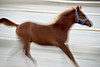 Filly running in her enclosure on the farm 3.