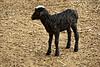 Baby goat, the farm