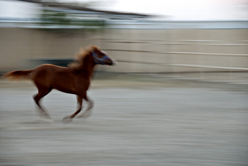 Filly running in her enclosure on the farm 5.