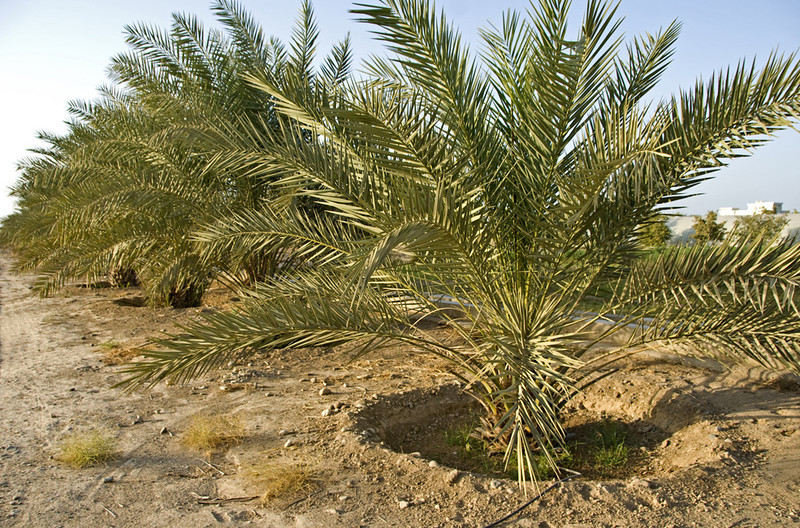 Date palm with its own irrigation on the farm.
