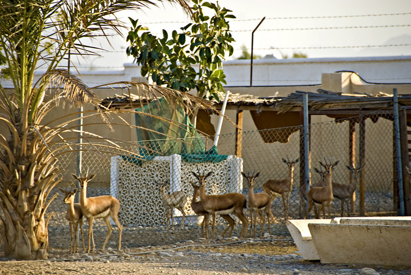 Omani gazelles on the farm.